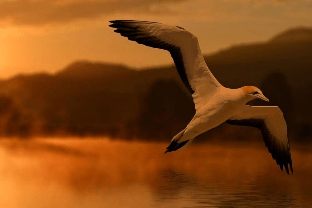 Northern Gannet Facts | CRITTERFACTS