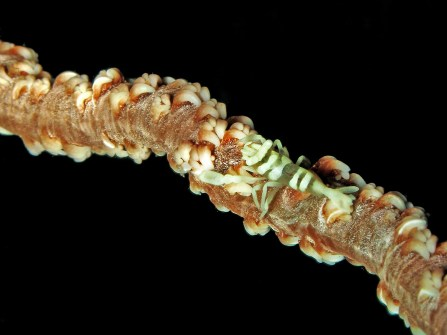 Defensive camouflage: shrimp on whip coral