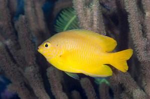 Peckhamian model: Ambon damsel. From: fishesofaustralia.net.au, picture by Jim Greenfield