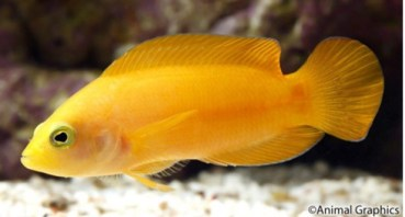 Peckhamian mimic: Dottyback (Pseudochromis fuscus). Photo from: Animal Graphics