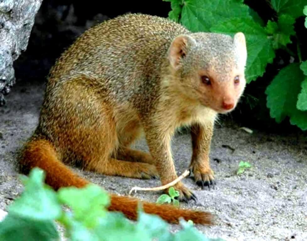 Mongoose Mljet