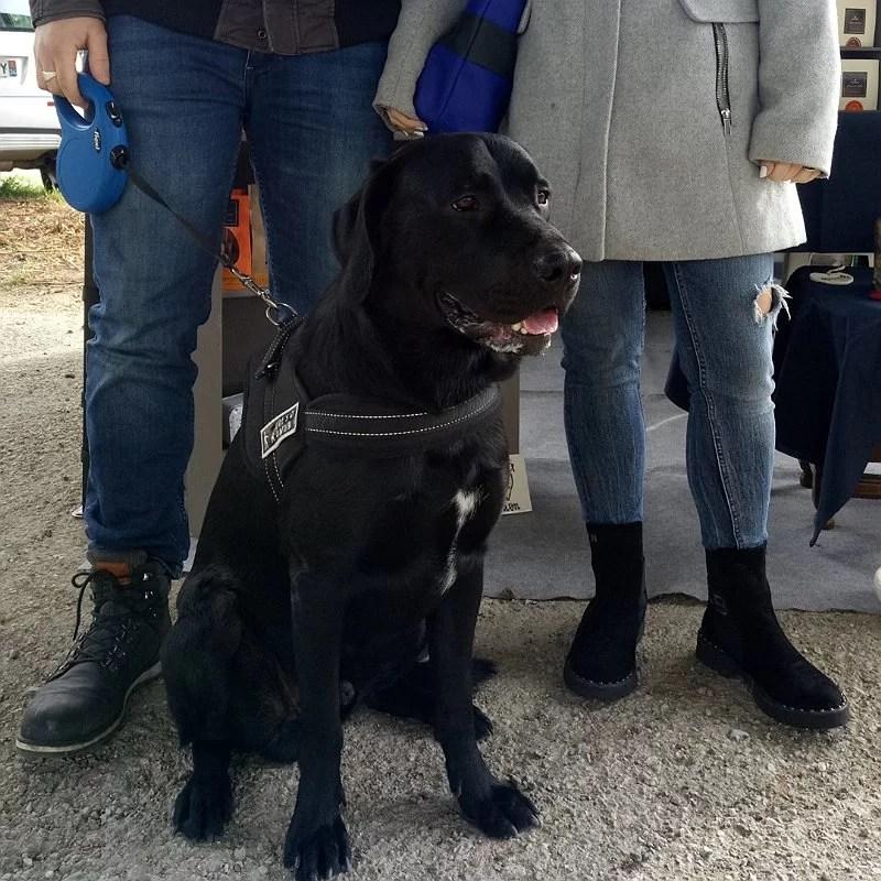 labrador-noir-chien-gourmand-club-crocandiz