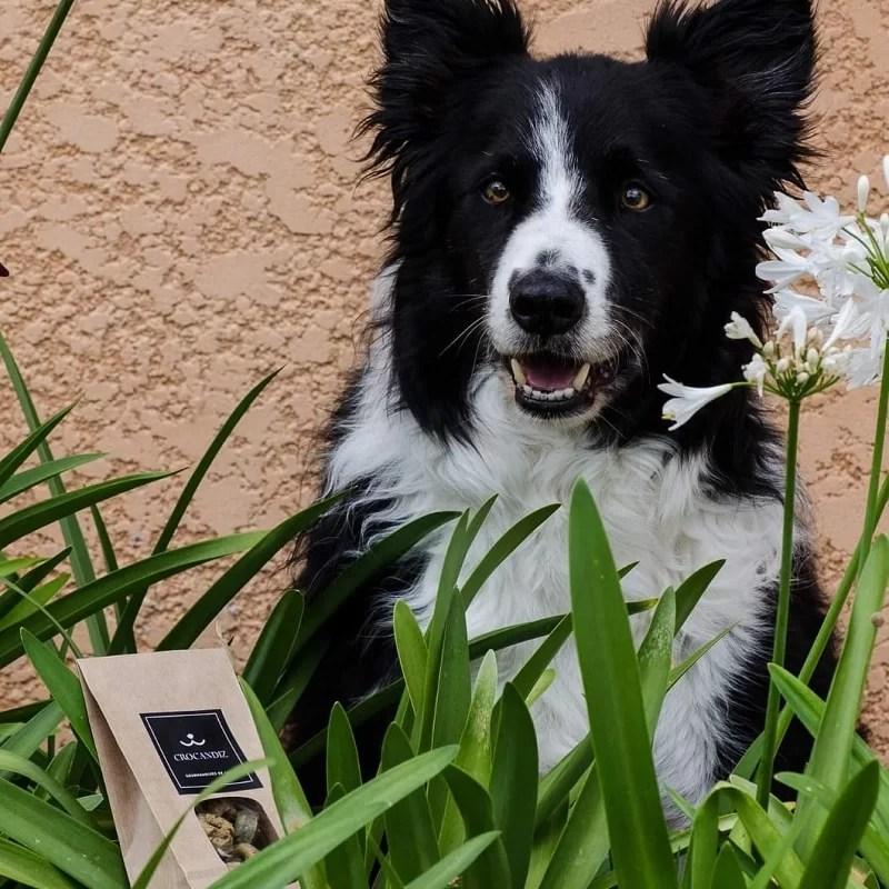 Fox-chien-border-collie-club-crocandiz