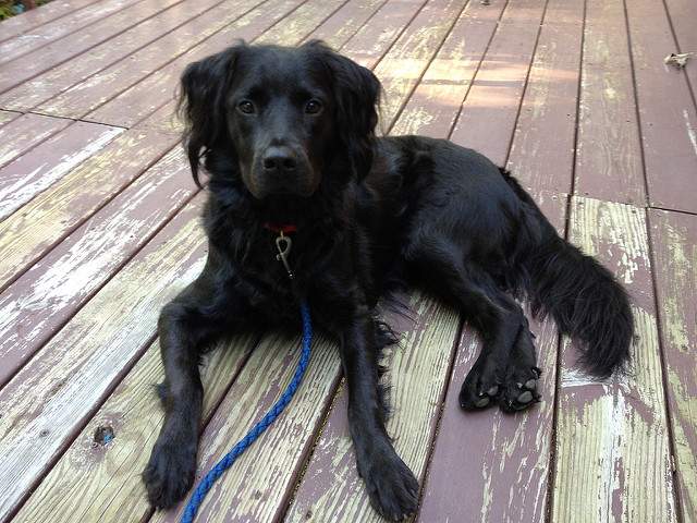 crochetbug, crochet, black dog, clooney