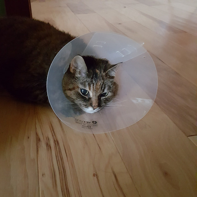 My cat stripes with an uncertain glower as she acclimates to the cone of shame