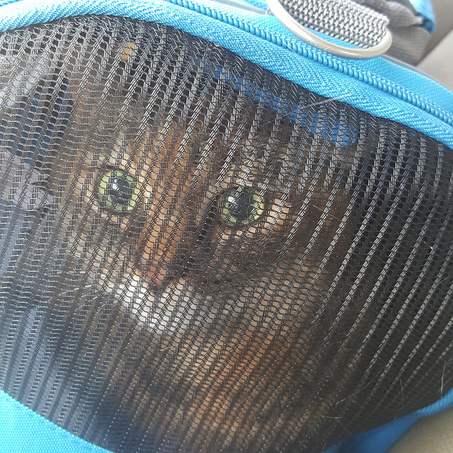 my cat stripes in her cat carrier ready to go to the vet