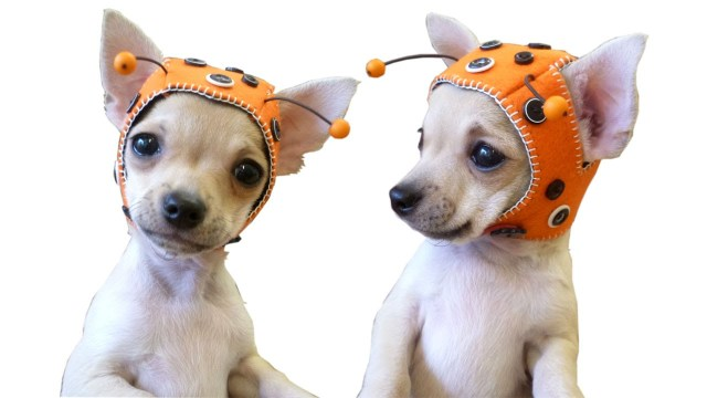 Puppy Dog Crochet Hat Pattern Ladybug Cap For Chihuahua Puppy Free Pattern With Lisa Pay Youtube