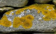 Golden Lichen (Xanthoria)