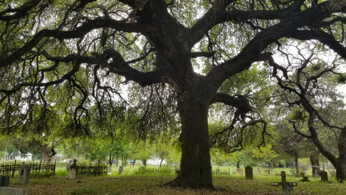 Giant live oak tree in the middle of the cemetery