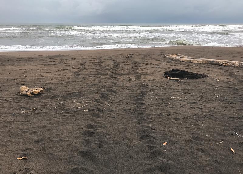 desove de tortugas en tortuguero