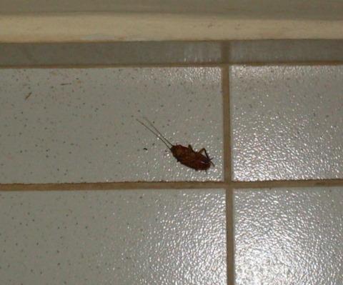 Uma barata no meio da floresta e no meio do meu quarto.