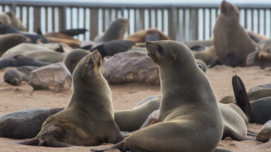 Lobos marinos en la playa de Cape Cross