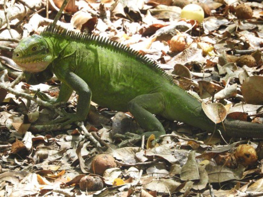 iguana, uno de los animales más curiosos que ver en Martinica