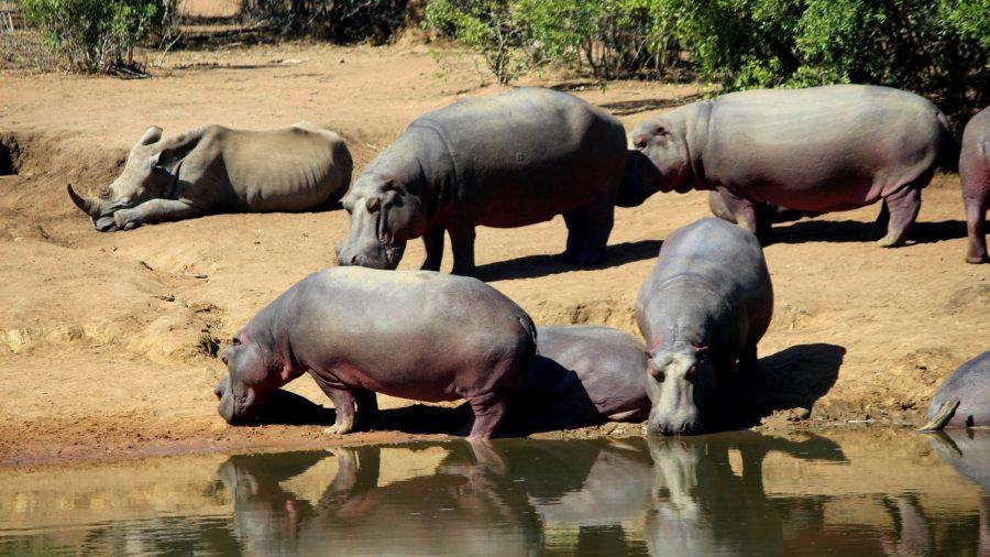 Hipopótamos y rinocerontes en Mkhaya