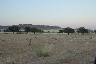 Gacelas pastando en la vegetación, visita al desierto de Namib