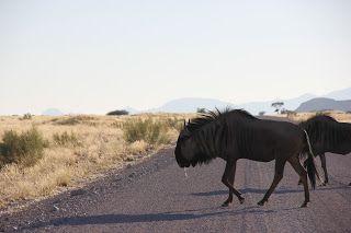 Ñu cruzando por la carretera, Swakopmund
