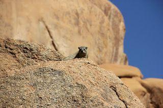 hyrax en la roca