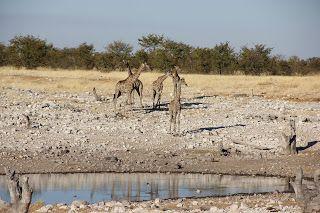 Jirafas acercándose al agua durante nuestra visita a Etosha