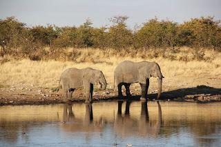 Elefantes bebiendo agua durante nuestra visita a Etosha