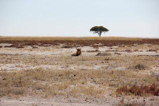 León sentado, Visita a Etosha