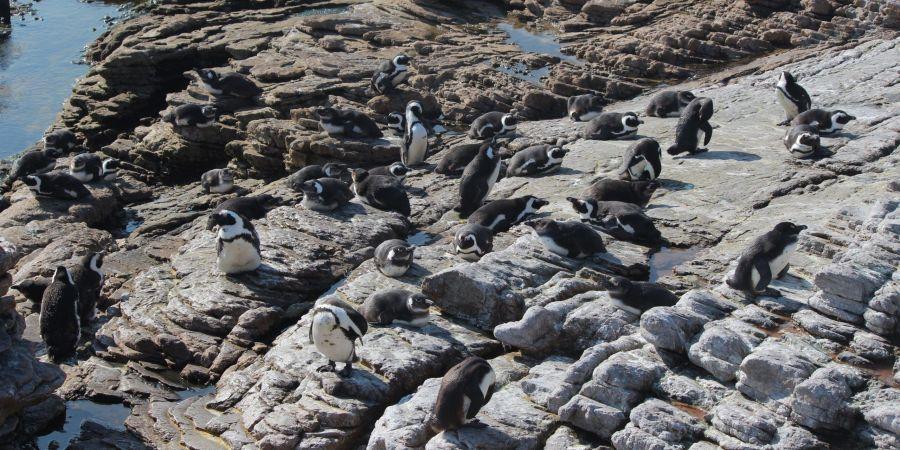 pinguinos durante mi viaje por libre a sudafrica