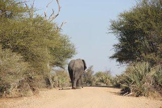 Elefante caminando delante nuestro en la carretera