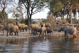 Grupo elefantes en el río Chobe
