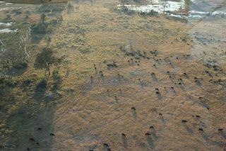 Grupo búfalos desde el aire en el DElta del Okavango