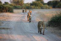 Grupo de leonas caminando en la carretera