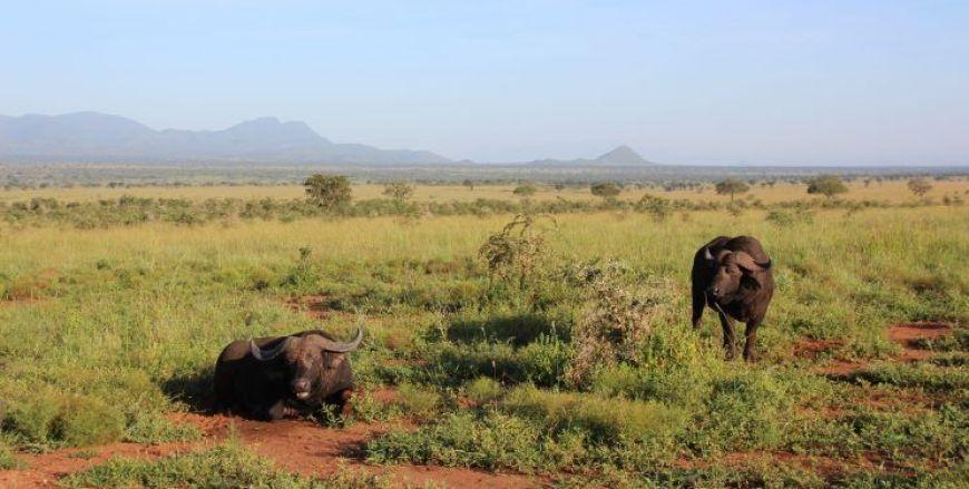 Búfalos Safari en Kidepo Valley, Uganda
