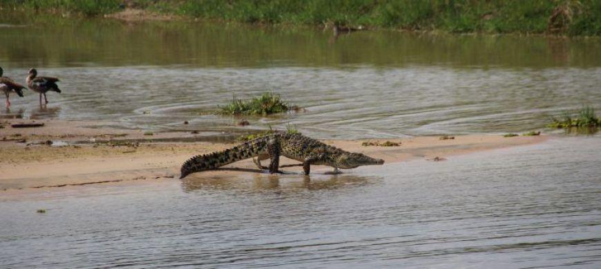 Cocodrilo Murchison Falls Uganda
