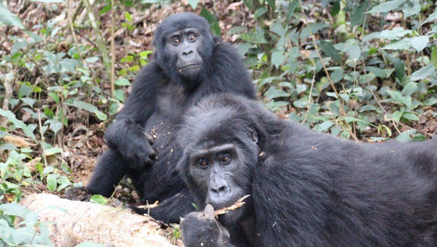 Gorilas, Bwindi, Uganda