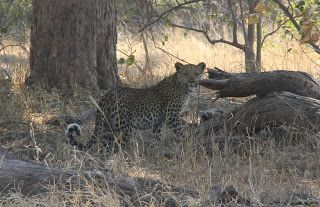 Leopardo en el safari en Moremi game reserve, Delta Okavango