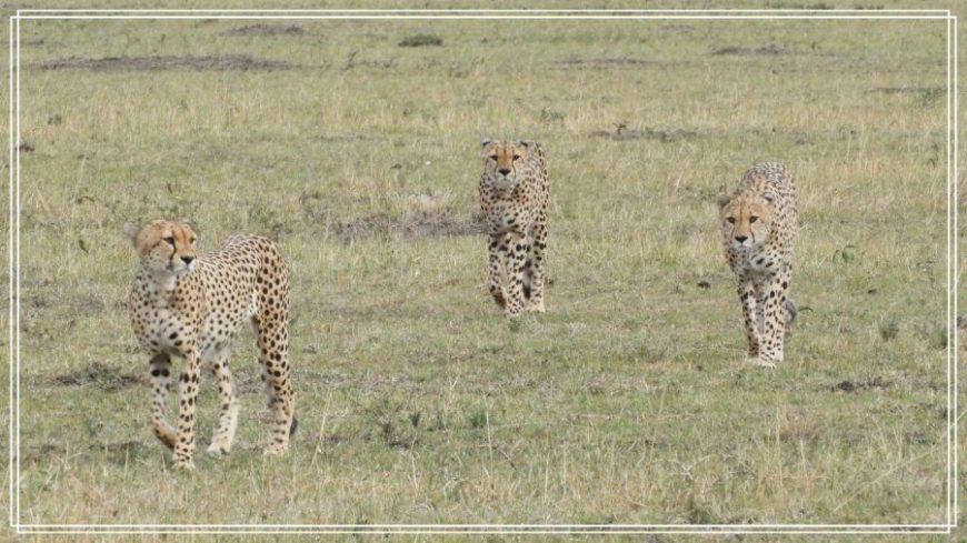 Guepardos de caza en Kenia