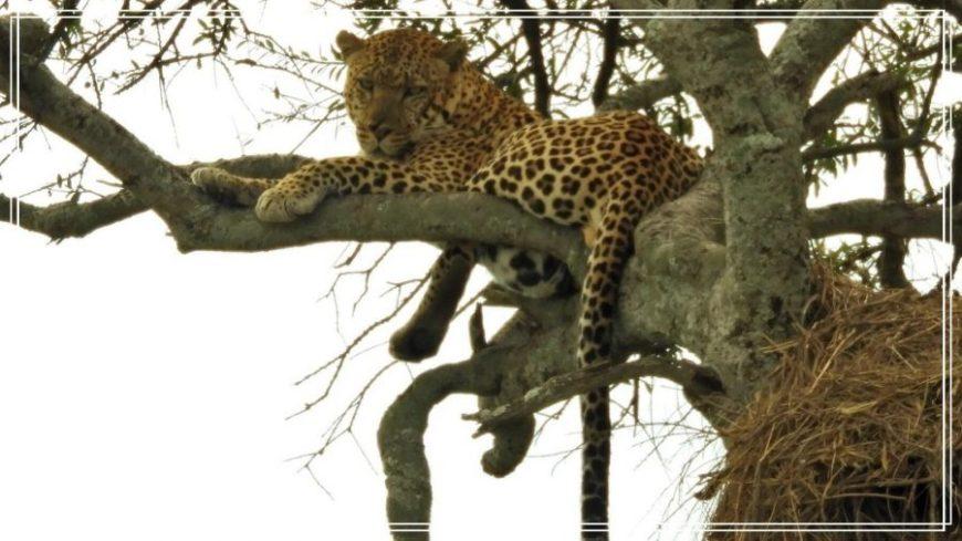 Leopardo en un árbol durante nuestro safari en Kenia