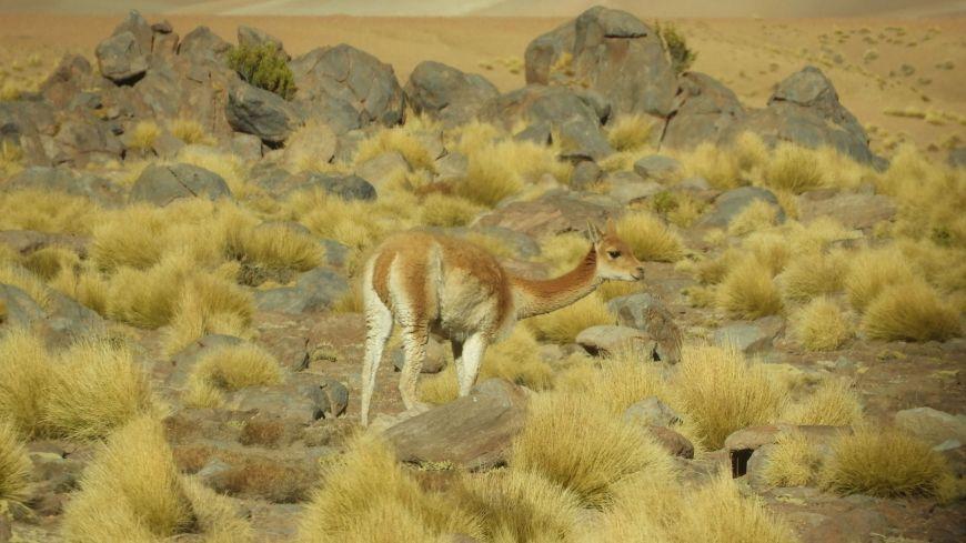 Vicuña en Chile
