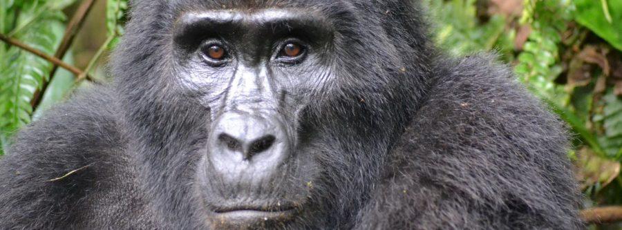 gorilla-uganda