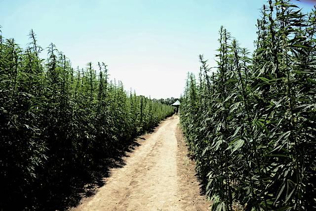 Canapa Day - il sentiero di cannabis