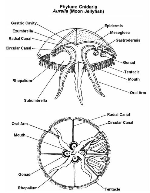 Image result for aurelia anatomy