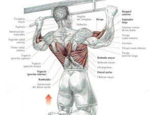 Músculos implicados en las dominadas - CronosFit
