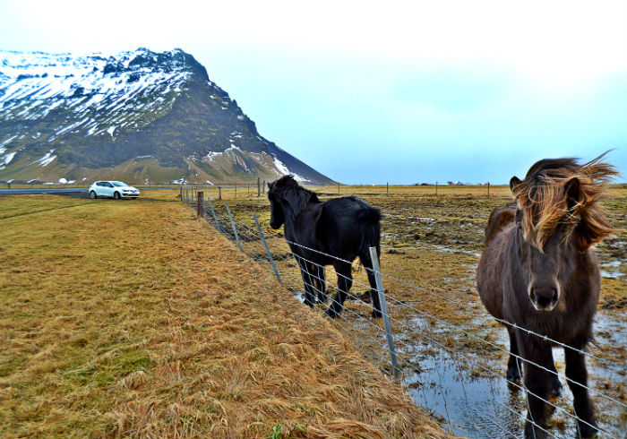 icelandic horses with mountains and car in background