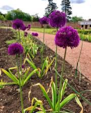 Alliums 5