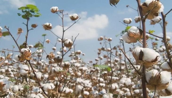 cotton literature