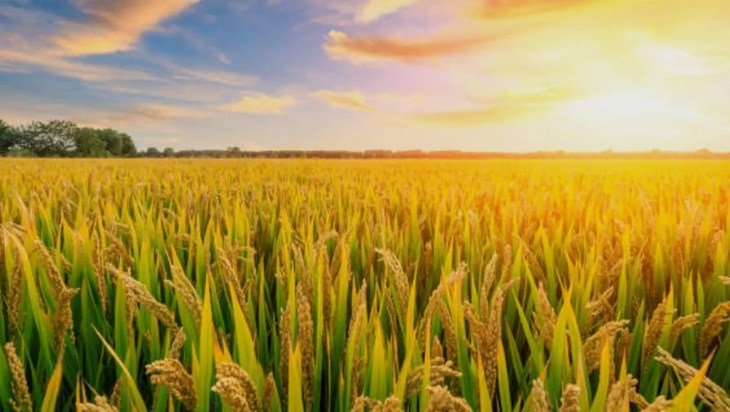 Hot Nights Confuses Rice's Circadian Clocks, Affecting Crop Yields