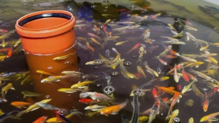 Fish Species Suitable For Aquaponics