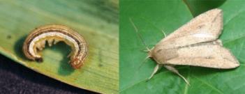 true armyworm identification