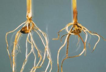 An example of Pythium on corn seedling
