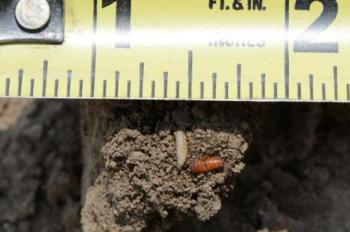 Seedcorn maggot and pupa.