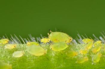 Soybean aphid colony
