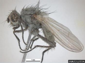 Seedcorn maggot adult.